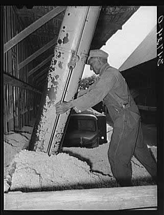 Worker Unloading Cottonseed