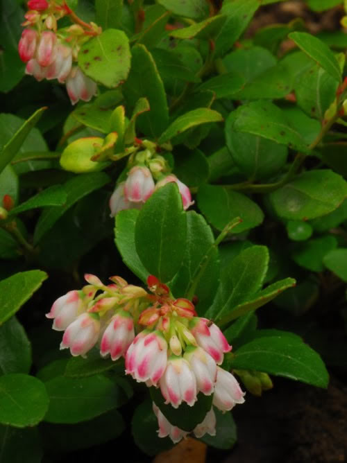 Pink and White Blooms of the Box Huckleberry Plant