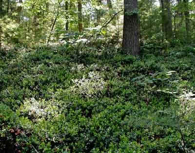The Colony of Box Huckleberry thickly covers the forest floor
