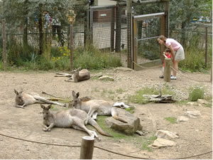 Kangaroos lolling in the Kangaroo Yard